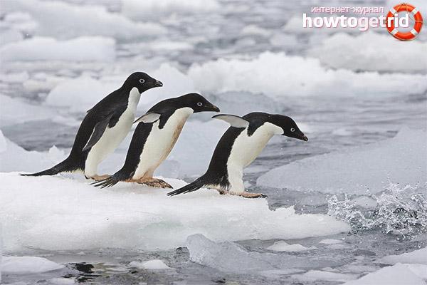 Питание пингвинов адели