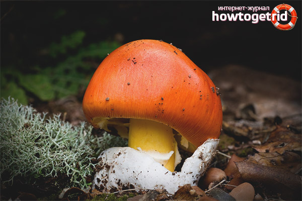 Похожие разновидности цезарского гриба