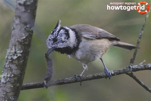 Поведение и характер хохлатой синицы