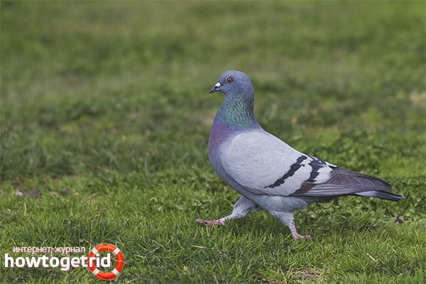 Природные враги сизых голубей