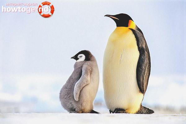 Размножение императорских пингвинов