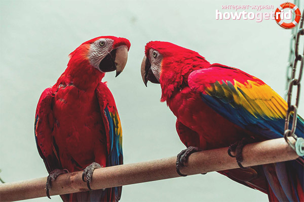 Размножение красного попугая