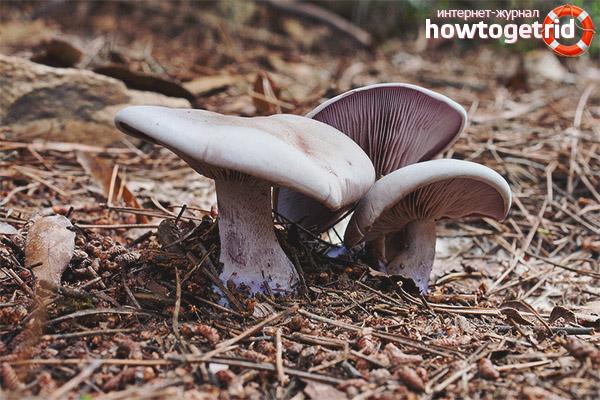 Рядовка фиолетовая