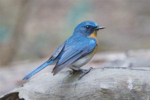 Синяя мухоловка