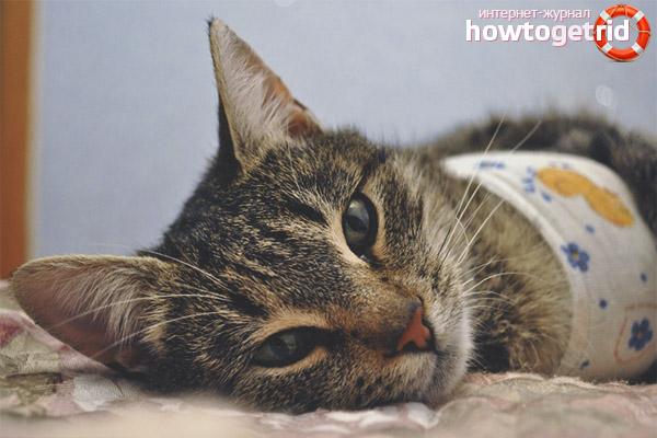 Уход за швами кошки после стерилизации
