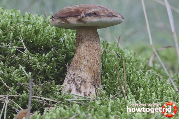 В каких местах любит произрастать жёлчный гриб