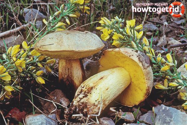 Вкусовые характеристики и польза полубелого гриба