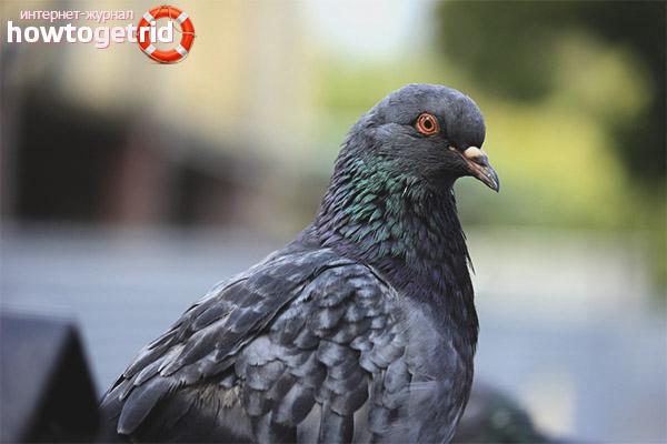 Влияние голубей на жизнь человека