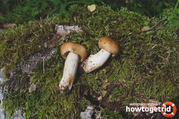 Зона распространения гриба валуй