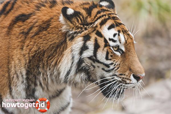 Амурские тигры в России