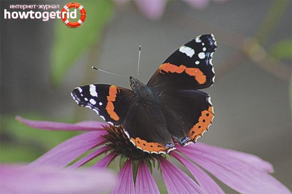 Ареал распространения бабочки адмирала