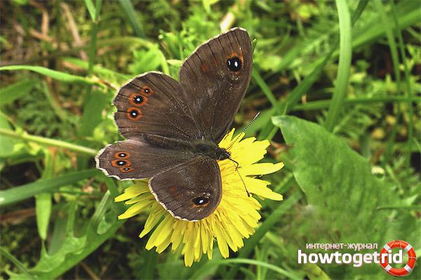 Ареал распространения бабочки бархатницы