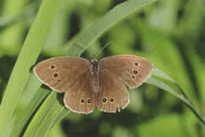 Бабочка бархатница