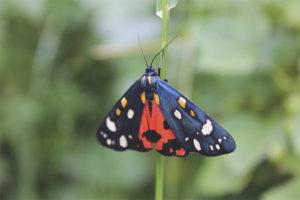 Бабочка медведица