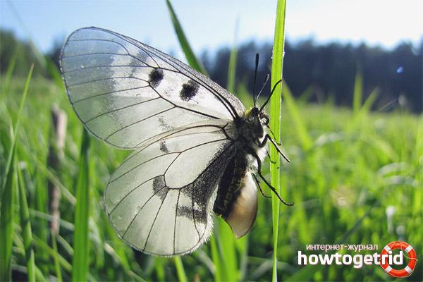 Бабочка мнемозина