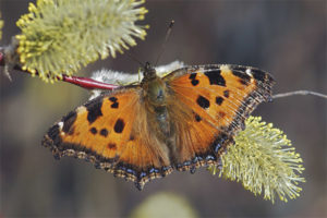 Бабочка многоцветница