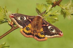 Бабочка павлиноглазка
