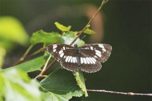Бабочка пеструшка