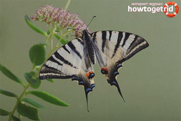 Бабочка подалирий