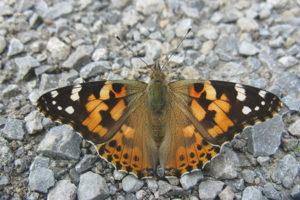 Бабочка репейница