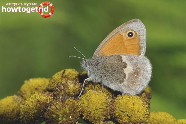 Бабочка сенница