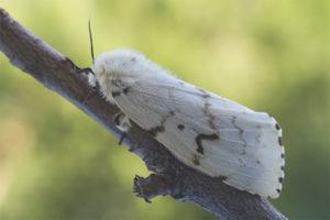 Бабочка шелкопряд