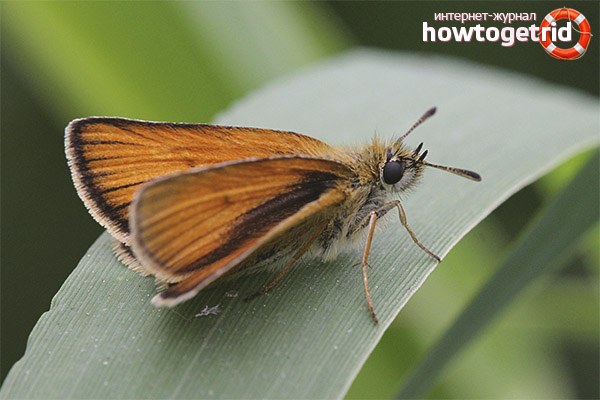 Бабочка толстоголовка