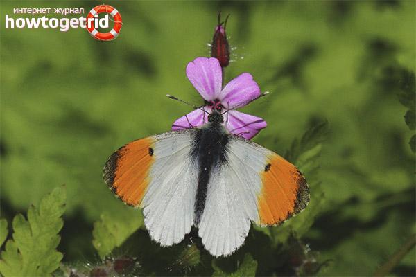 Бабочка зорька