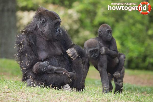 Будни горилл