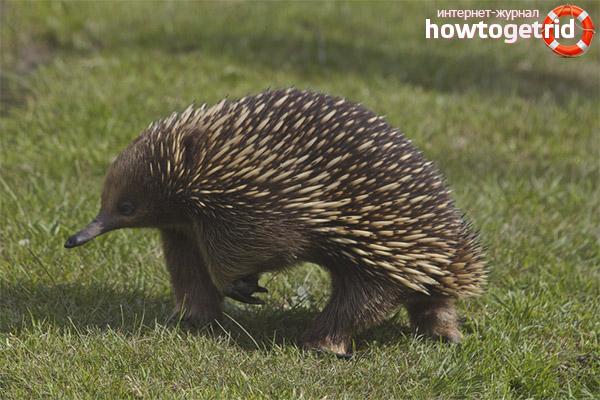 Чем питается австралийская ехидна