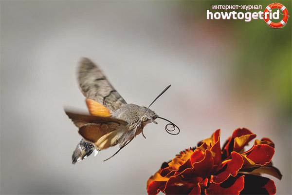 Чем питается бабочка бражник