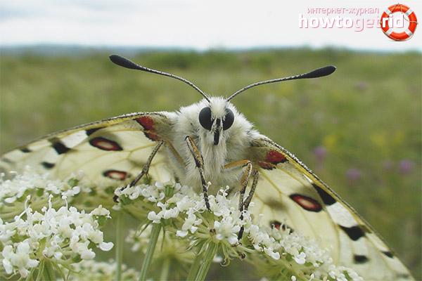 Численность бабочек аполлона