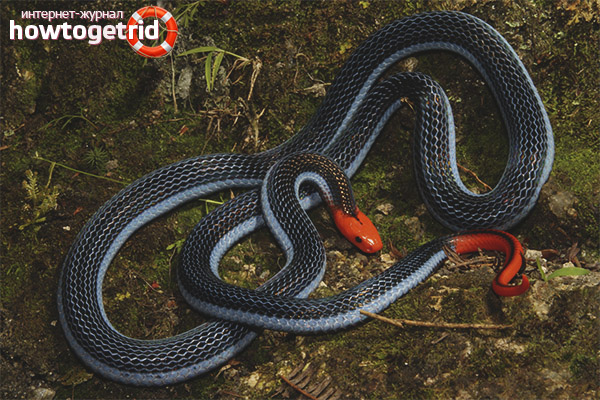Двухполосая железистая змея