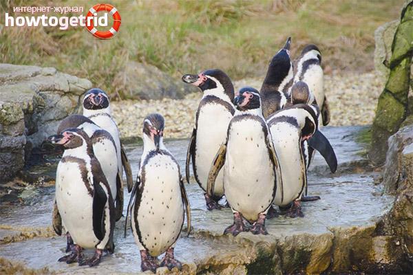 Гнездование и размножение пингвинов гумбольдта