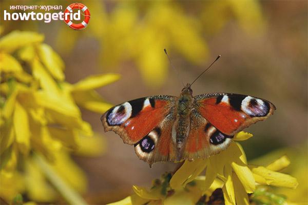 Характер и образ жизни бабочки павлиний глаз