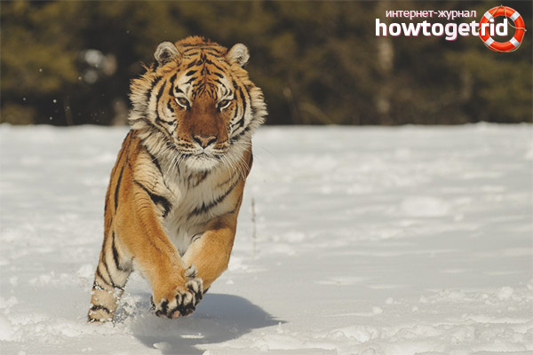 Как охотятся амурские тигры