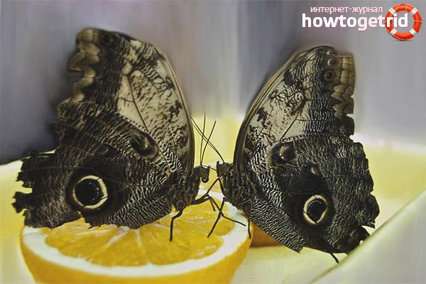 Как размножается бабочка-сова