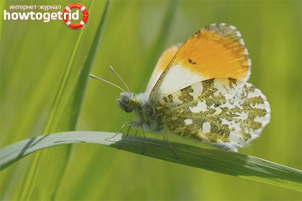 Как размножается бабочка зорька