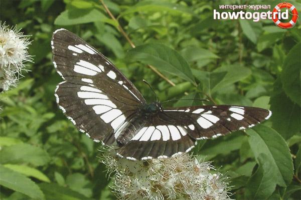 Как живет бабочка пеструшка обыкновенная