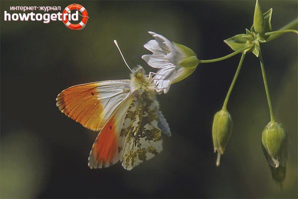 Как живет бабочка зорька