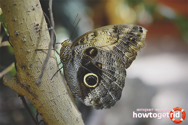 Как живёт бабочка-сова