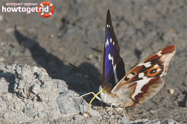 Манера поведения бабочки переливницы