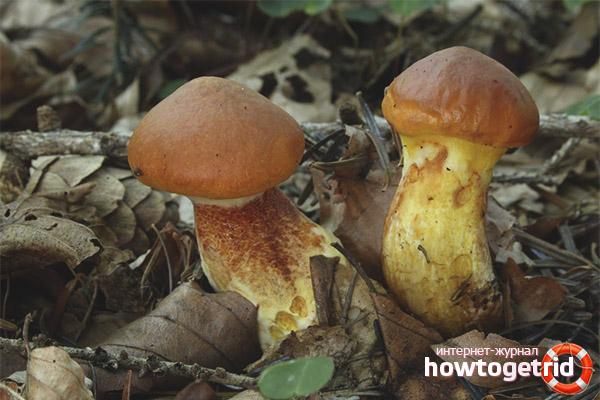 Медицинские свойства маслёнка лиственничного