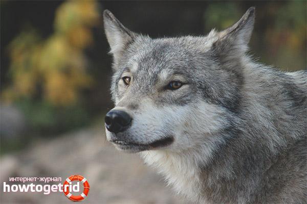 Места обитания волков