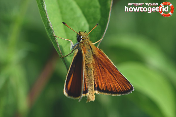 Обитание бабочки толстоголовки