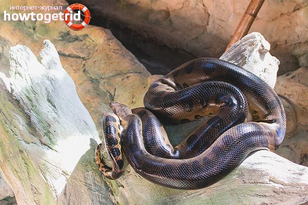 Обитание и образ жизни анаконды