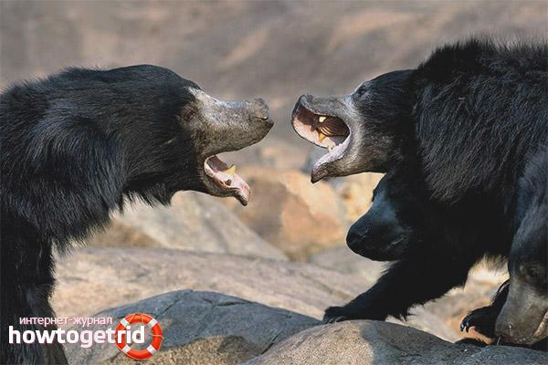 Обитание и особенности медведя губача