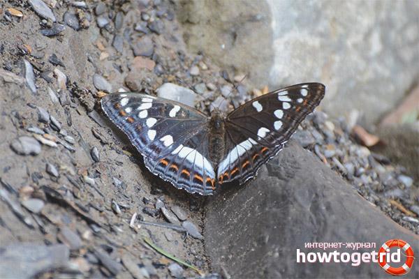 Образ жизни бабочки ленточника