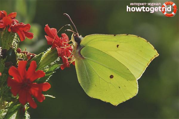 Образ жизни бабочки лимонници