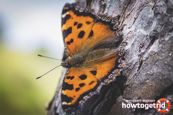 Образ жизни бабочки многоцветницы